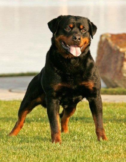 Victory Rottweiler North Highlands Ca95660